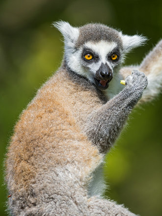 Posing lemur