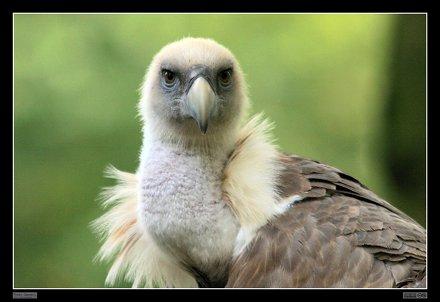 Eurasian Griffon Vulture / Gänsegeier (03)