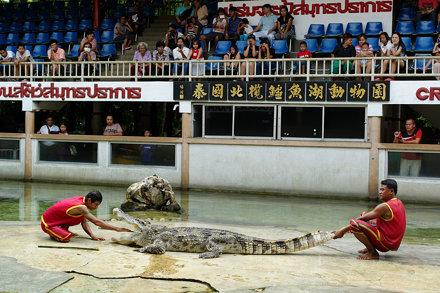 Crocodile Show, Samut Prakan 2014