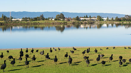 Coots on the Shore of Shoreline Lake
