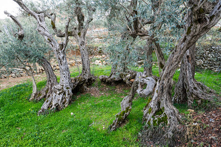 Oldest Olive Trees on Earth