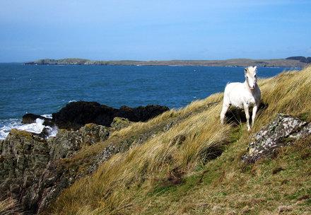 Ponies on Llanddwyn Island - II