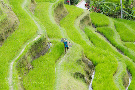 Farmer, Tegallalang Rice Terrace, Bali