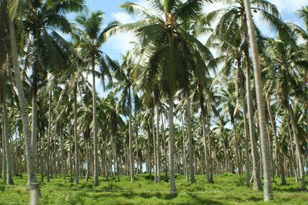Cocos nucifera (Coconut) - plantation