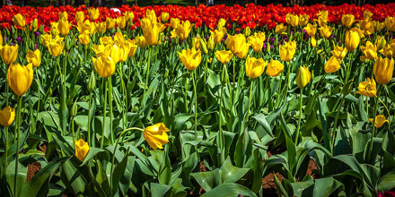 Silvan Tulip Festival-27