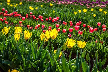 Silvan Tulip Festival-8