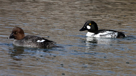 Common Goldeneye, breeding pair