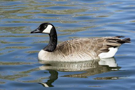 02-Canada goose RET_5222-Tingley Beach ABQ NM