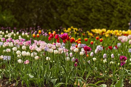 Tulpės Vingio botanikos sode