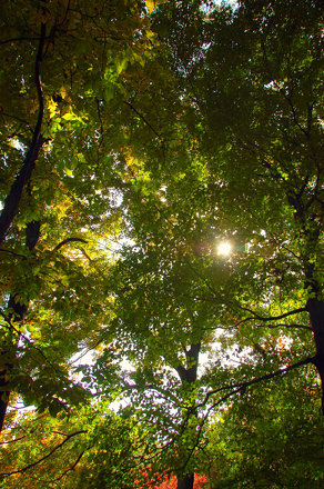 Arnold Arboretum: Light through the green & yellow tree leaves