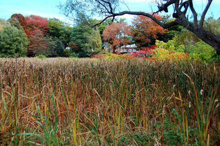 "Arnold Arboretum: Fall foliage beyond the cattail-filled marshy ""meadow"""