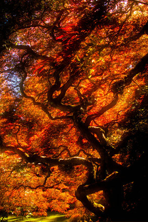 Japanese Maple Tree with Afternoon Light