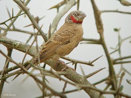 Cut-throat Finch Amadina f. fasciata