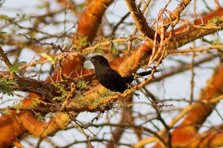 Black Scrub Robin (Cercotrichas podobe)