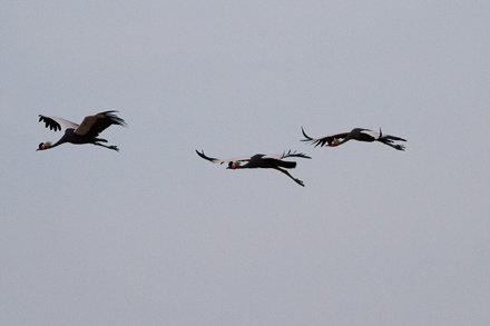 Black-crowned Crane (Balearica pavonina)