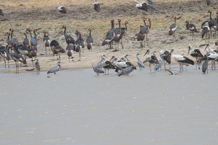 White Stork,Black-headed Heron & Black-crowned Crane