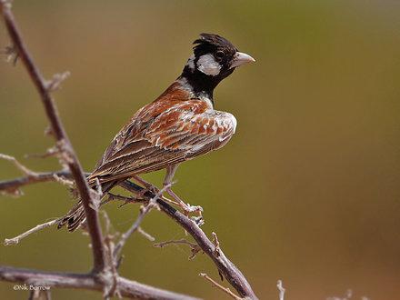 Chestnut-backed Sparrow Lark Eremopterix leucotis melanocephalus