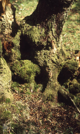 Wood mouse holes and food remains. Tree base, Dol y Gaer, May 1972
