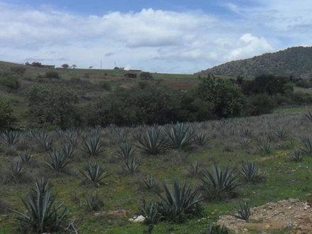 pencas de maguey para mezcal #Mezcal #Oaxaca #Maguey