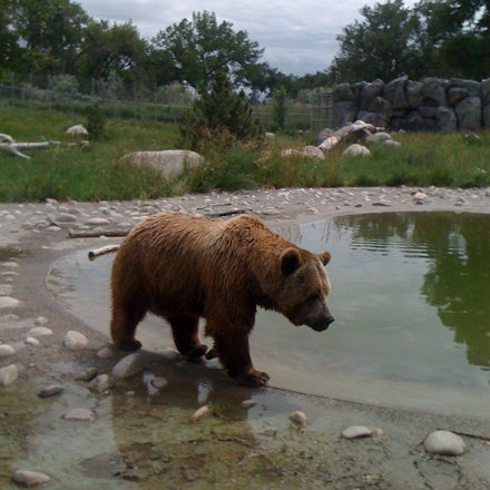 Grizzly at Zoo Montana